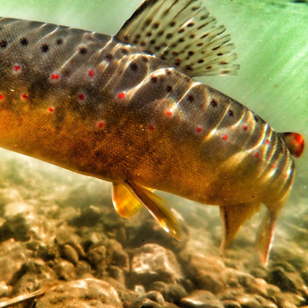 Brown Trout Underwater Photography