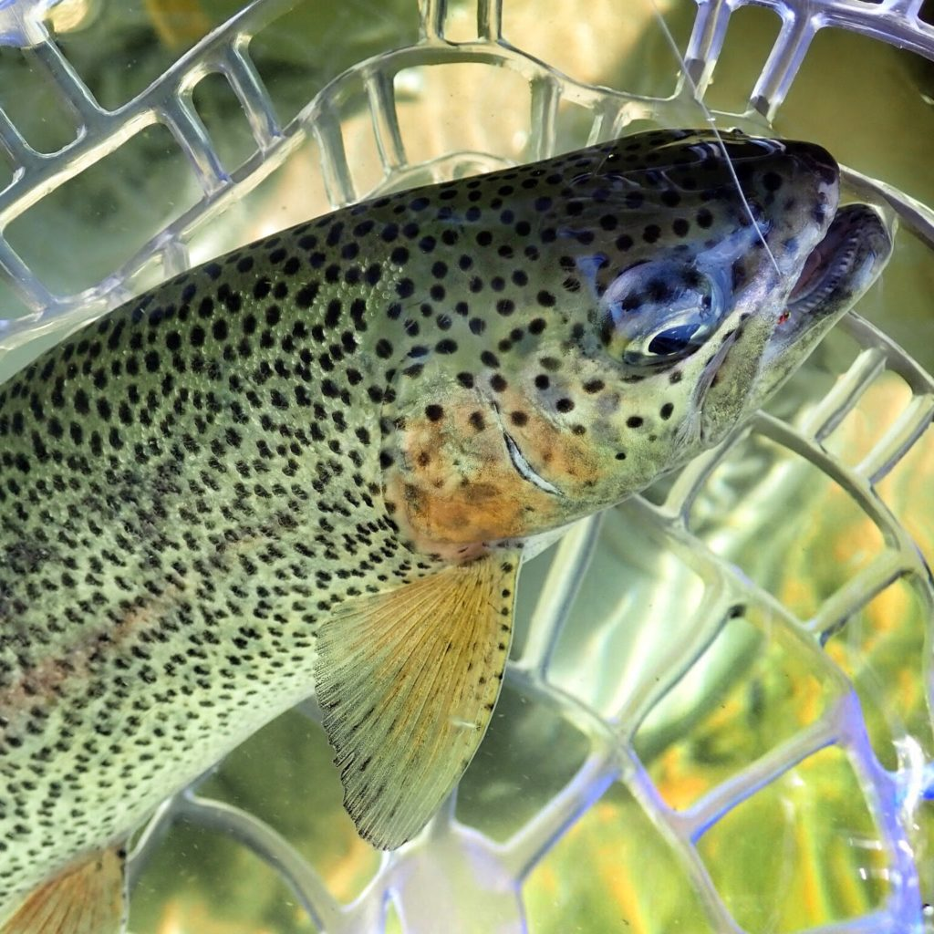 Rainbow Trout in Net Photography